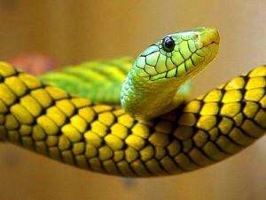 snake-pregnancy-300x225.jpg