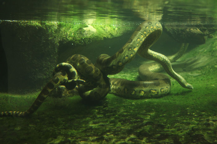 Snakes In Water Dream