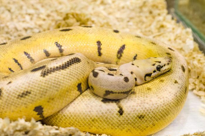 Yellow Snake Dream